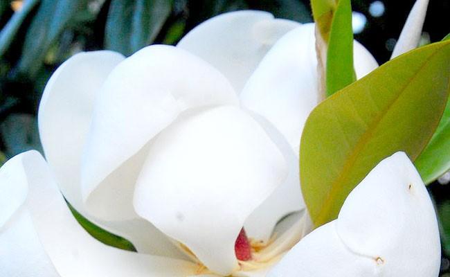 Magnolia Study Day