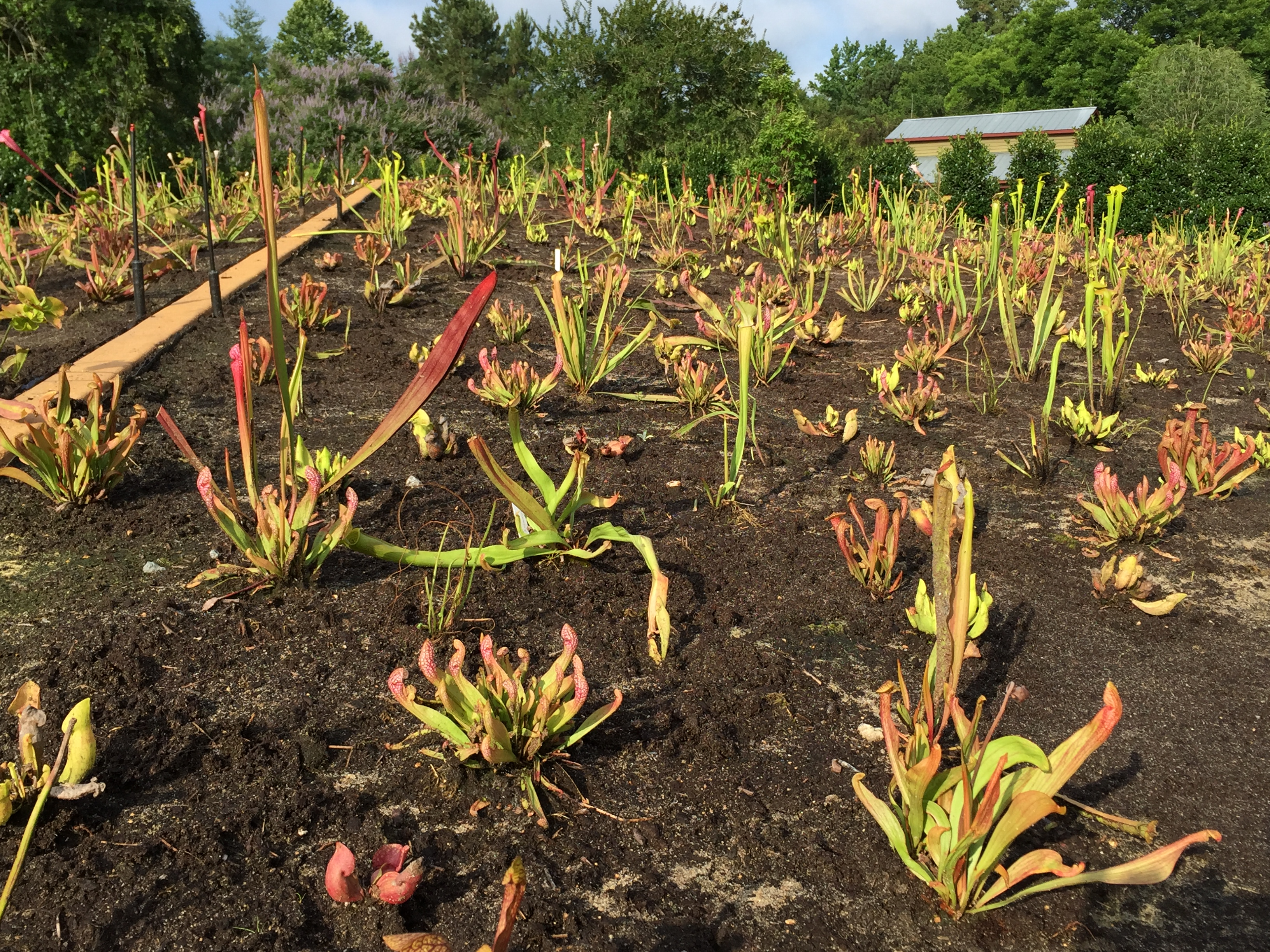 Over 2,000 pitcher plants! – Moore Farms Botanical Garden