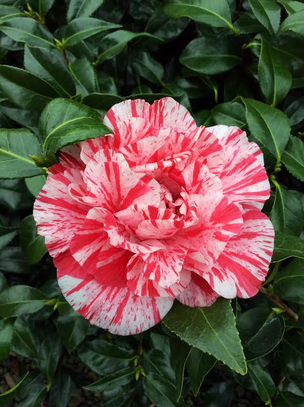 camellia-bella-romana-2